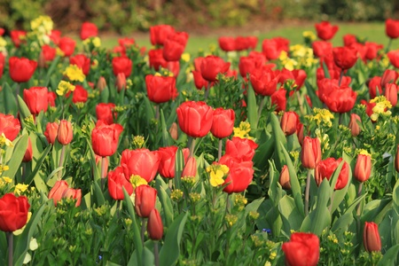 Tulip in a field Stock Photo