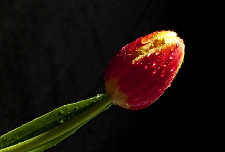 Tulip Water droplets photo