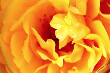 Rose Yellow Macro