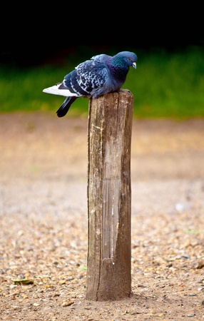 pigeon sitting on a pole
