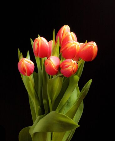 soothing: Tulip bunch