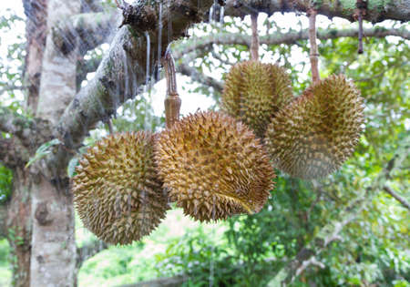 unusual angle: Durians in The Garden on rain season.