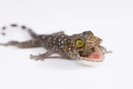 tokay gecko: Tokay on white background.