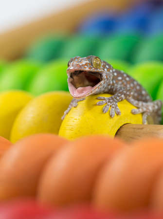 tokay gecko: Tokay Gecko open mouth