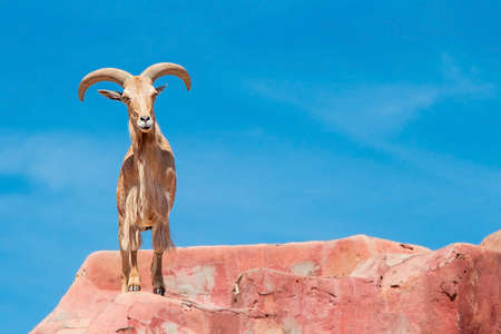 ewes: Ram goat with big horns and brown fur , standing on red rocks