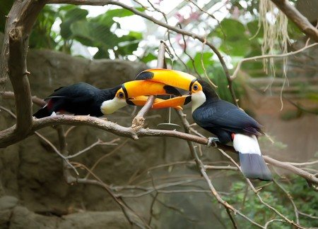 two toucans playing on three photo