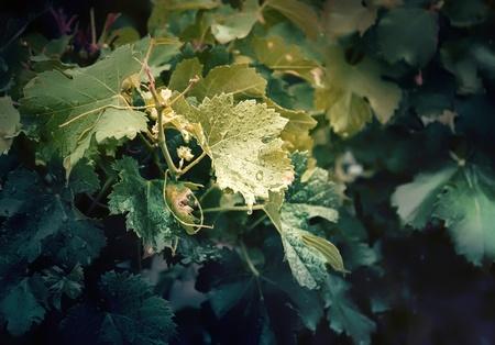 wine plants after summer rain
