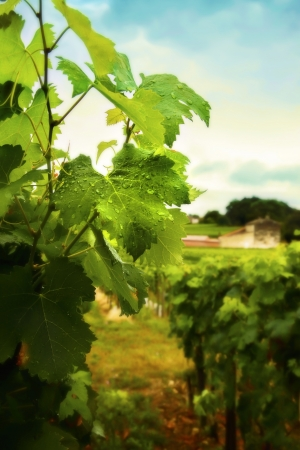 country side with wine plants photo
