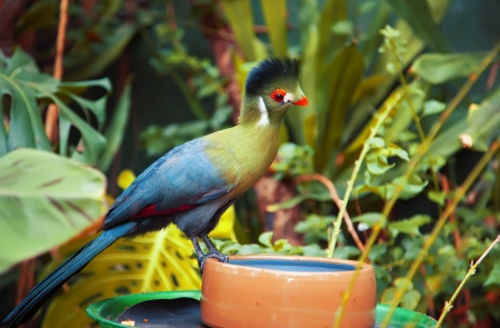 pecker: Green  bird   Turaco  by nature
