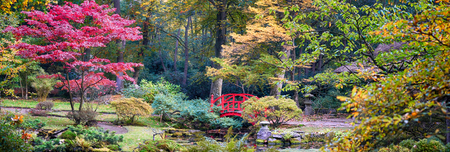japanese maples: autumn panorama in Japanese park