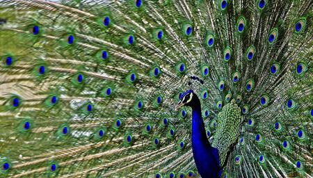 strutting: Beautiful Peacock With Tail Extended