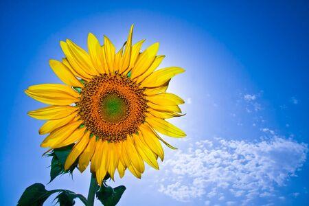 Einzelzimmer Sonnenblume