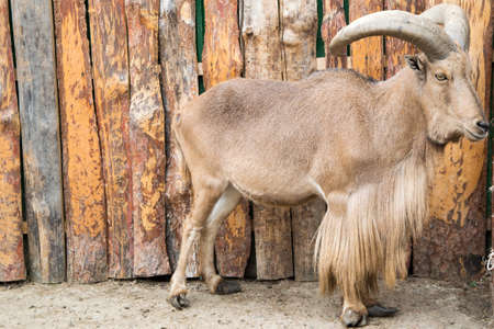 North African barbary sheep with large horns Stock Photo