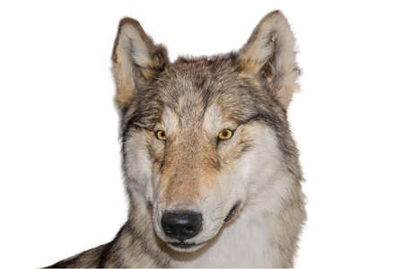 The head of wolf ordinary Stock Photo