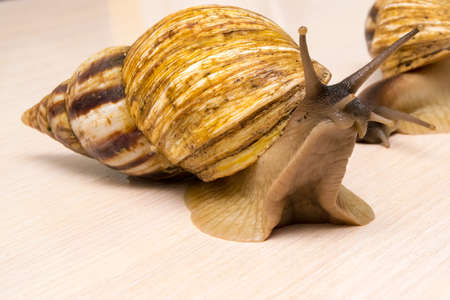 herbivores: Giant snails crawl on the table