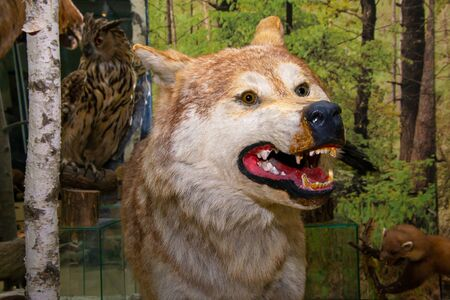The head of a spiteful forest wolf with oskalenny teeth