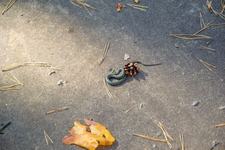 The forest snake - curled up on the earth and accepted a defensive pose 写真素材