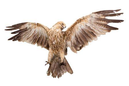 Eagle flies having spread wings and having shown the teeth