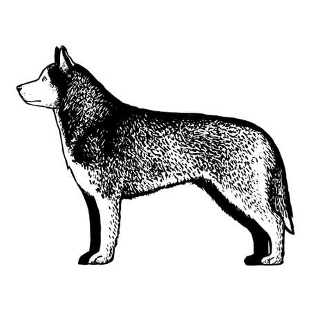 Realistic Siberian Husky. Dog breed - Vector illustration