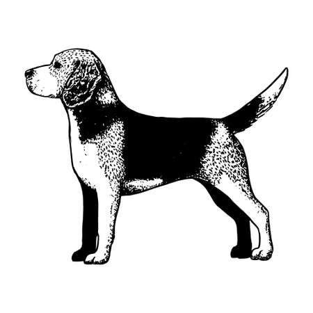 Realistic beagle dog. Dog breed - Vector illustration