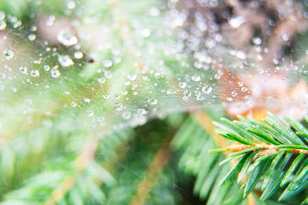 Spider web and sprigs of spruce covered with morning dew. Spider web with dew drops closeup. The image is in the background. Macro photo.