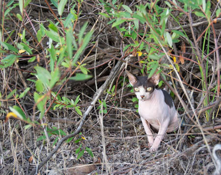 Sphynx cat sits in a willow bush in nature while walking on a summer day.