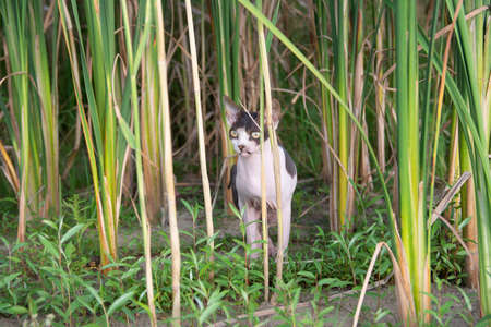 Sphynx cat sits in the reeds in nature during a walk on a summer day.