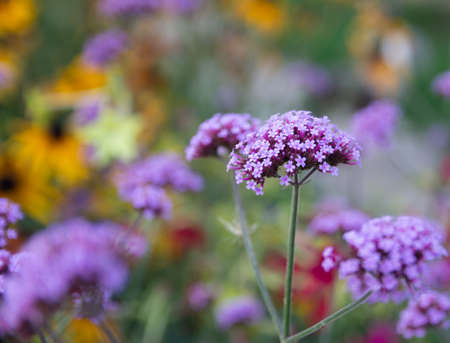 Verbena Bonariensis is a purple flower, The meaning of this flower is the happiness of everyone in the family. Imagens