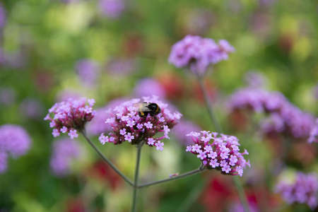 Verbena is a purple flower. And there are bee.