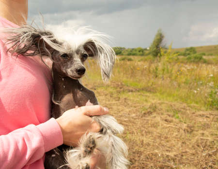 Chinese crested dog in the arms of a girl in a pink sweatshirt. The naked puppy is picked up.