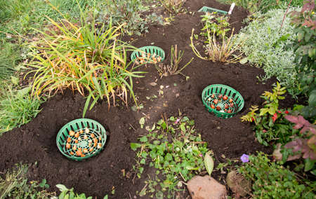 Planting tulip bulbs in plastic baskets for bulbs in the fall in the flower garden.