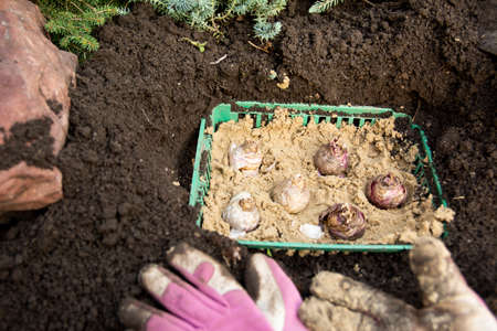 Autumn work in the garden.Planting hyacinth bulbs in a plastic basket with the addition of sand.