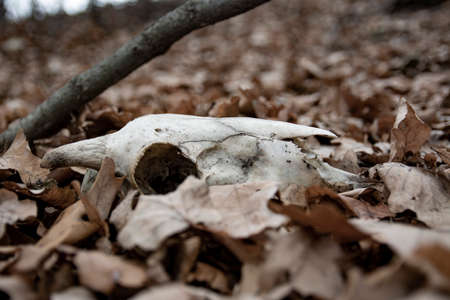 Ram skulls in forest. Animal skull in the autumn forest. A real lamb skull on a foliage background . Zdjęcie Seryjne - 134898944