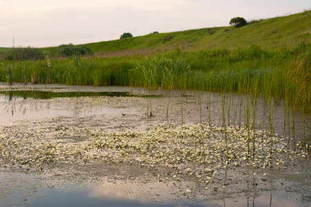 Buttercup water. Algae with white flowers on the surface of the overgrown river