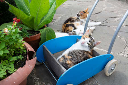 A cute family of cats is resting on a hot summer day in the courtyard in a toy cart near pots of flowers.
