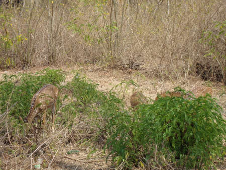 deer filling there stomach by eating grass near to road side Stockfoto