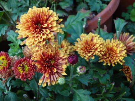 wonderful flowers in pot Stockfoto