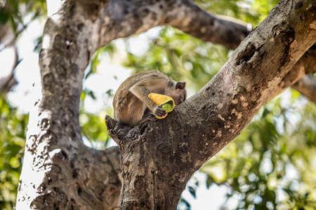 Monkey Eating a Fruit Stock Photo