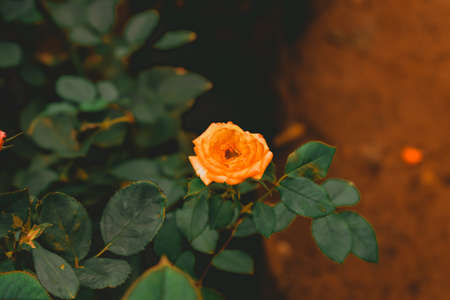 Saffron colored Rose in focus with green leaves behind and black background