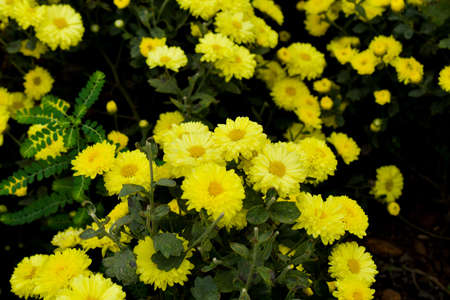 Colorful Chrysanthemums flowers bloom in a farm .Yellow colored flowers with green leaves