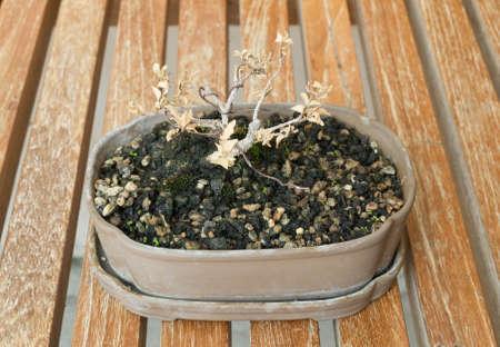 Houseplant, Beautiful Dry Bonsai Tree in A Flowerpot for Garden Decoration. photo