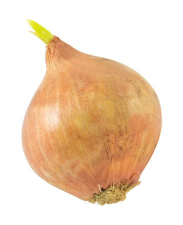 bulb and stem vegetables: Vegetable and Herb, Onion Bulb with Green Sprouts Used for Seasoning in Cooking. Stock Photo