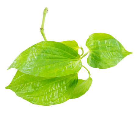piper: Vegetable and Herb, Fresh Green Wild Betel Leafbush or Piper Sarmentosum Roxb Herbal Food and Medicine.