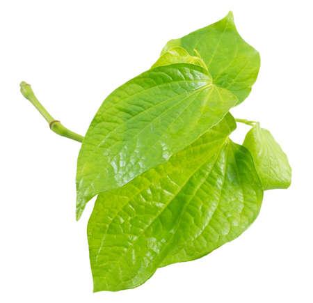 piper: Vegetable and Herb, Fresh Wild Betel Leafbush or Piper Sarmentosum Roxb Herbal Food and Medicine.