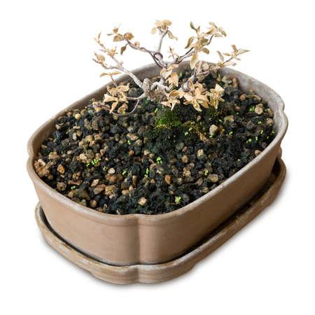 flowerpot: Houseplant, Dry Bonsai Tree in Flowerpot for Garden Decoration Isolated on White Background. Stock Photo