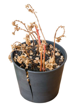 flowerpot: Houseplant, Dry Bonsai Tree in Broken Plastic Flowerpot for Garden Decoration Isolated on White Background.