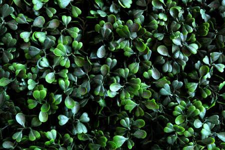 leaf shape: Beautiful Abstract Dark Green Heart Leaves Wall or Dark Green Bush Background. Stock Photo