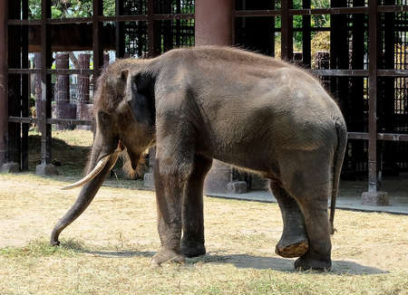 land animals: Animal and Wildlife, Portrait of Asian Elephant Eating Green Grass, The Largest Living Land Animals in Asia.