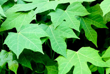 Background Pattern, Green Leaves Wall or Green Bush Background. Stock Photo
