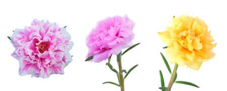 Beautiful Flower, Three Fresh Purslane, Moss Rose, Ten OClock, Sun Rose or Portulaca Grandiflora Flowers Isolated on White Background. Banco de Imagens